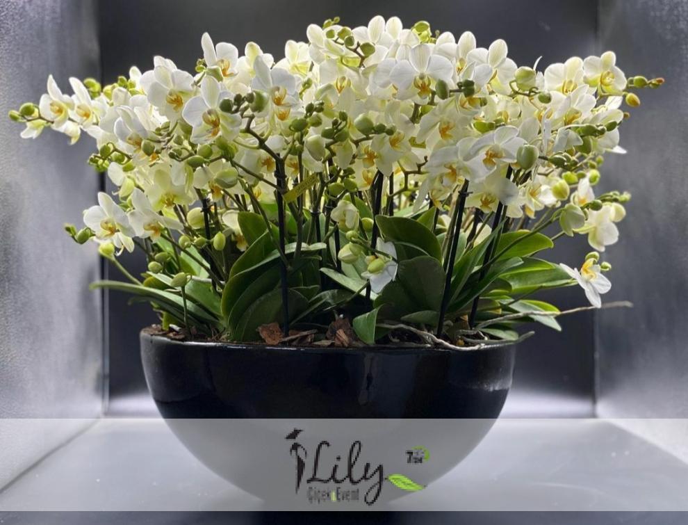 40 dal beyaz orkide
