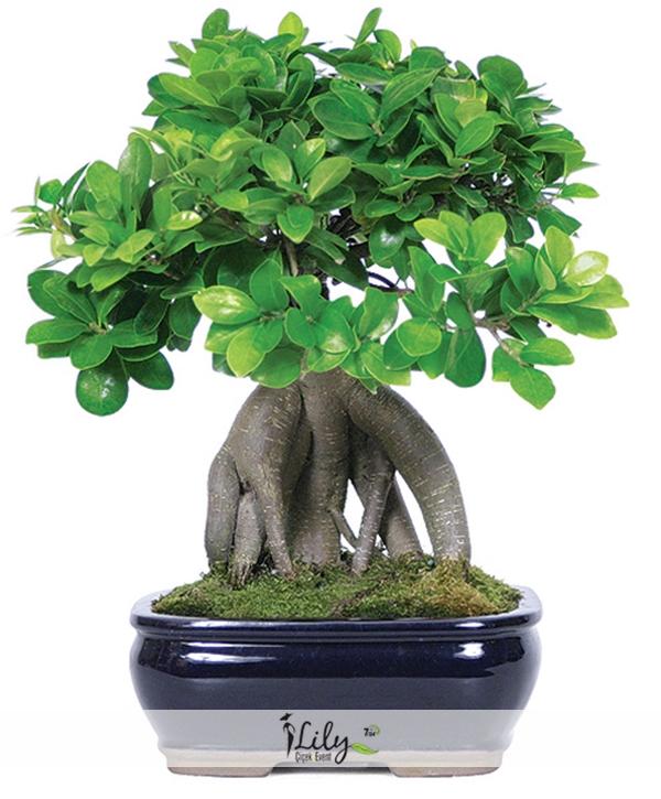 bonsai ağacı 40 cm