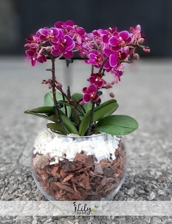 fanusta orkide