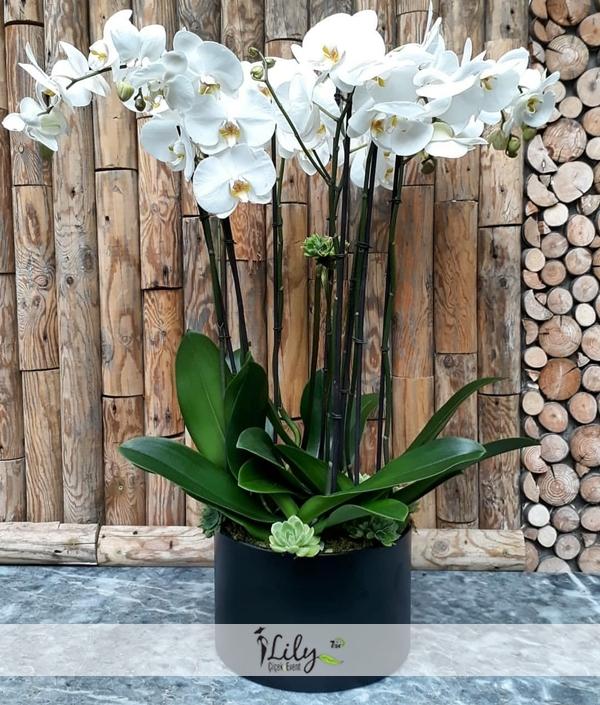 6 dal beyaz orkide