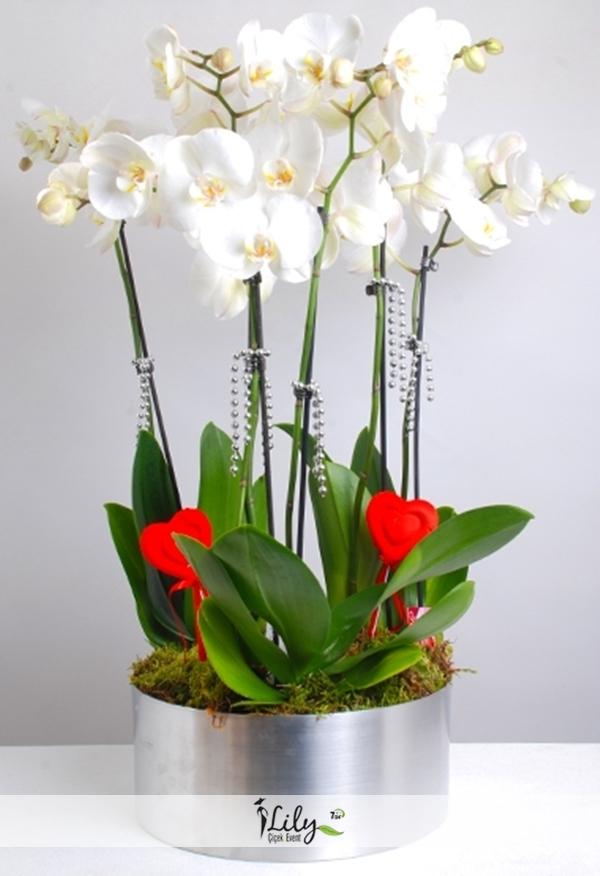 5 dal beyaz orkide