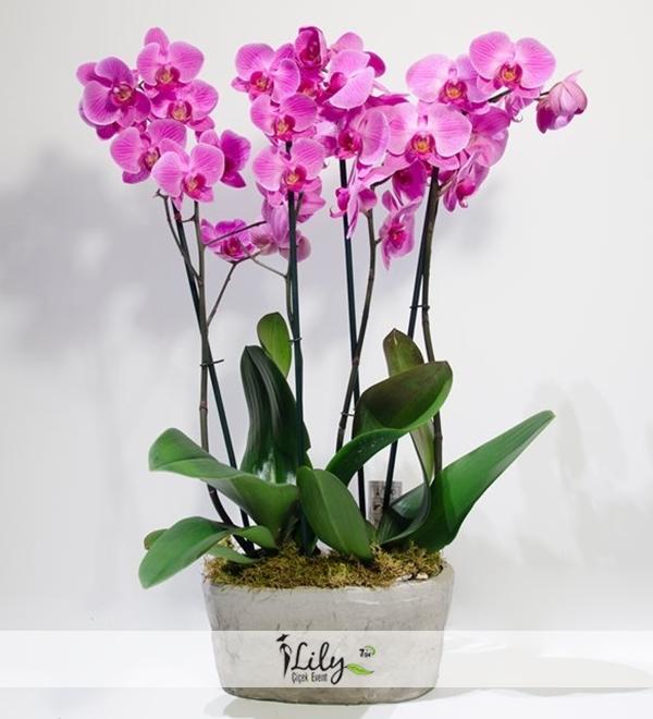 4 pembe orkide