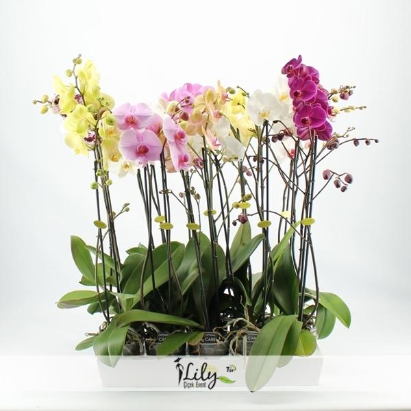 karışık orkide bahçesi