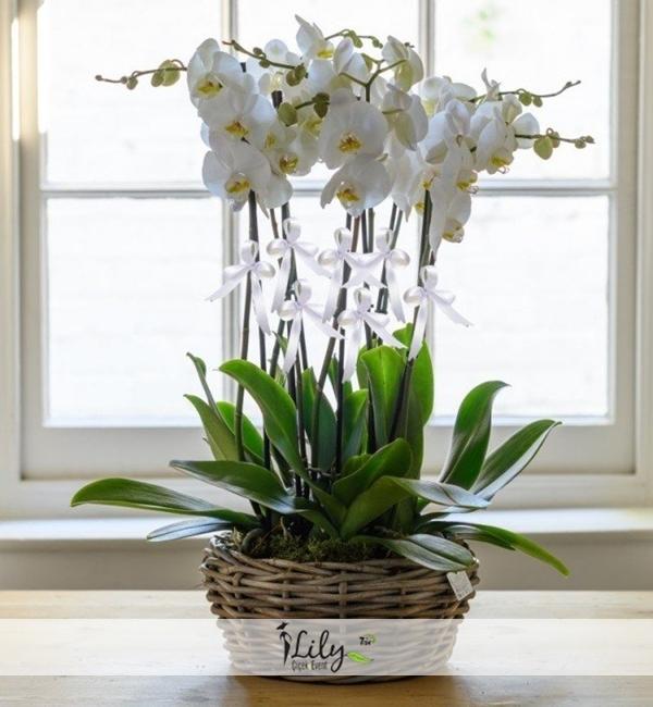sepette 8 dal orkide