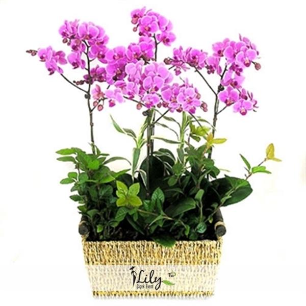 sepette 4 dal pembe orkide
