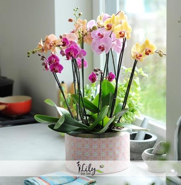 seramikte karışık renk orkideler