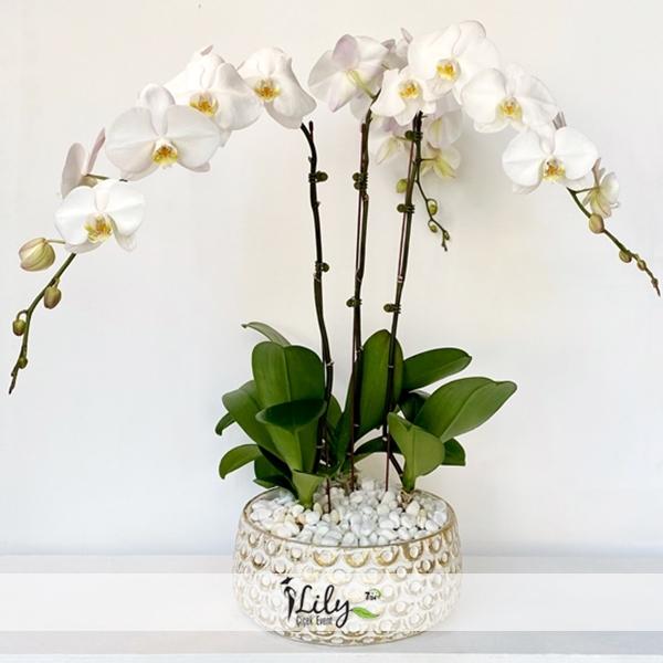 antik saksıda 3 dal orkide