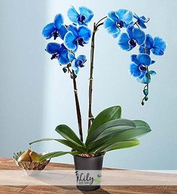2 dal mavi orkide