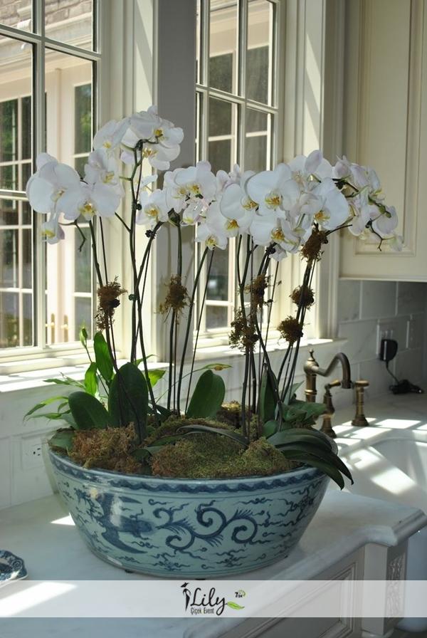 antik saksıda 8 dal orkide