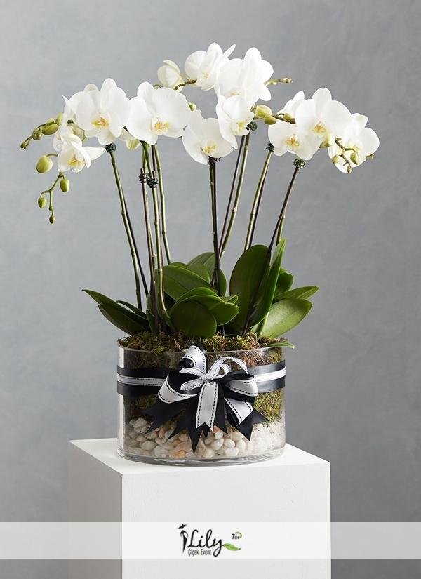 8 dal beyaz orkide