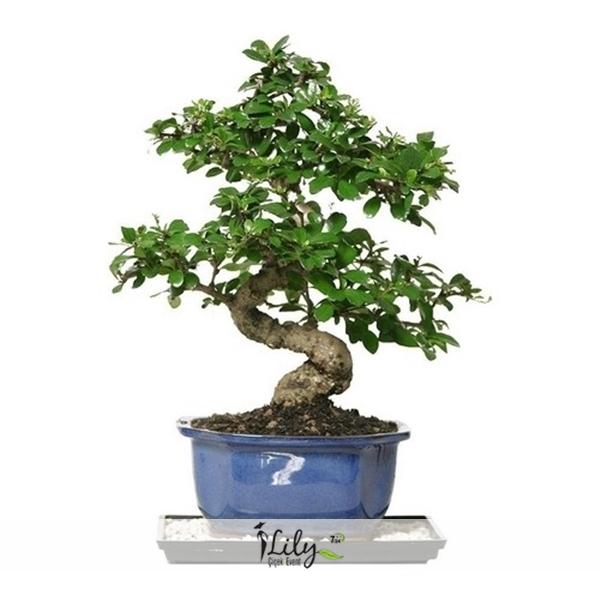buyuk bonsai