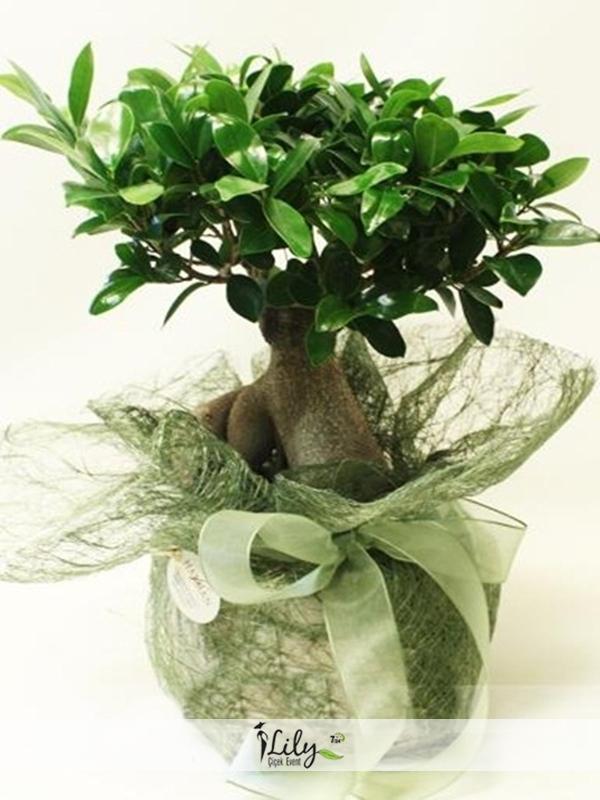 40 cm bonsai