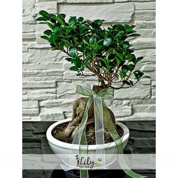 50 cm bonsai