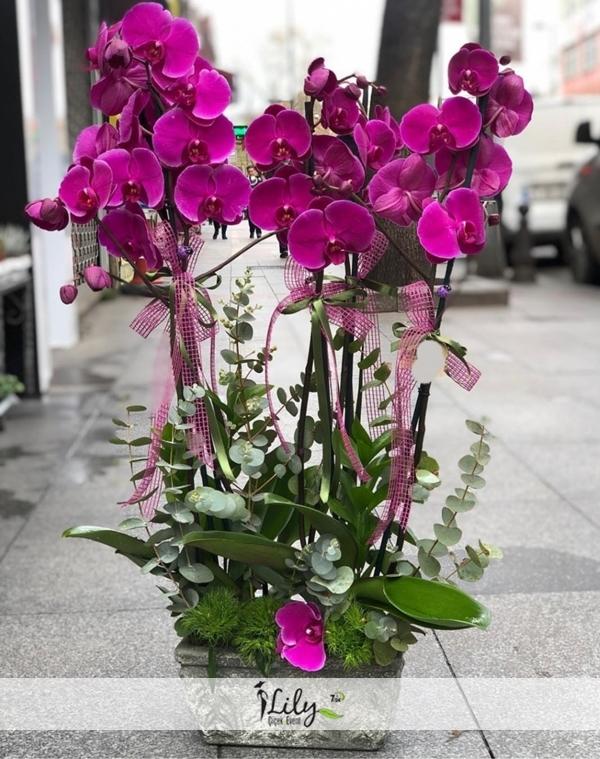 4 dal fumbo fuşya orkide