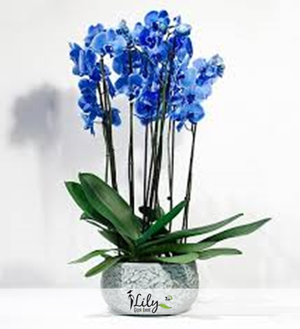 4 dallı mavi orkide