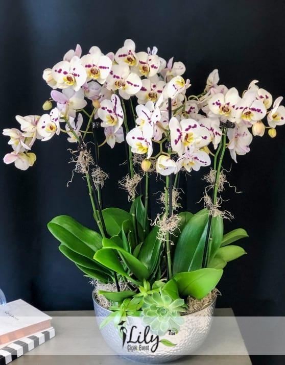 camda mor beyaz 8 dal orkide